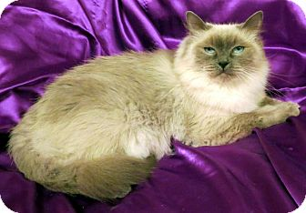 Birman Cat for adoption in St. Louis, Missouri - Madelina