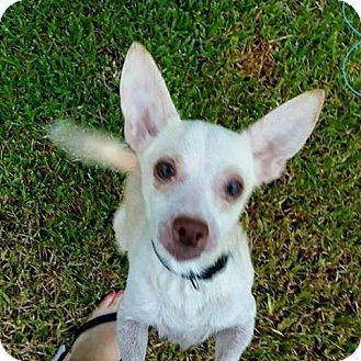 Chihuahua Mix Dog for adoption in Lake Jackson, Texas - Corbin ~ in foster