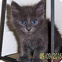 Adopt A Pet :: Budapest - Chandler, AZ