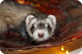 Ferret for adoption in Chantilly, Virginia - Ellie