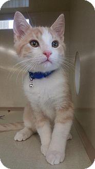 Domestic Shorthair Kitten for adoption in Walnut Creek, California - Buttercup