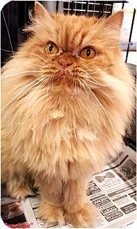 Persian Cat for adoption in Key Largo, Florida - Penelope