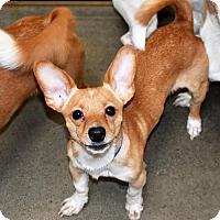 Adopt A Pet :: Teddy Bear - San Jacinto, CA
