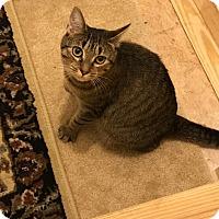 Domestic Shorthair Cat for adoption in Reinholds, Pennsylvania - Momma