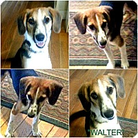 "Adopt A Pet :: ""WALTER"" - Findlay, OH"