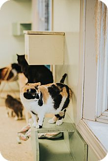 Domestic Shorthair Cat for adoption in Indianapolis, Indiana - Queen Amidala