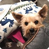 Adopt A Pet :: Phoebe - O'Fallon, MO