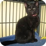 Domestic Shorthair Kitten for adoption in Shelton, Washington - Carrie