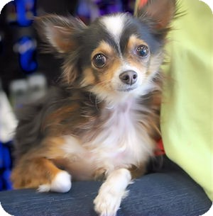 Chihuahua Dog for adoption in Mooy, Alabama - Samson