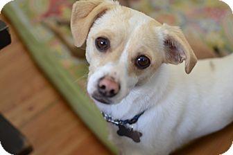 Italian Greyhound Chihuahua