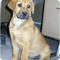 Adopt A Pet :: Shayla - Alexandria, VA