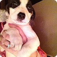 Adopt A Pet :: Patches - Alamosa, CO