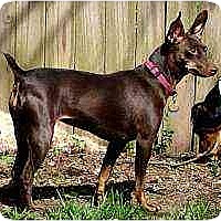 Adopt A Pet :: Sadie Mae - Nashville, TN