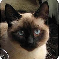 Adopt A Pet :: Soda Pop - Davis, CA