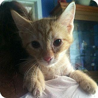 Domestic Shorthair Cat for adoption in Cerritos, California - Wink