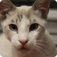 Adopt A Pet :: Frankie Blue Eyes - Sarasota, FL