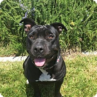 Pit Bull Terrier Mix Dog for adoption in Rancho Cucamonga, California - Luna