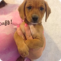 Adopt A Pet :: LUCY LITTER #4 - Pompton lakes, NJ