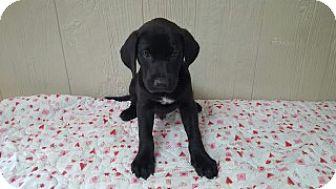 Labrador Retriever Mix Puppy for adoption in Clarksville, Arkansas - Jeb