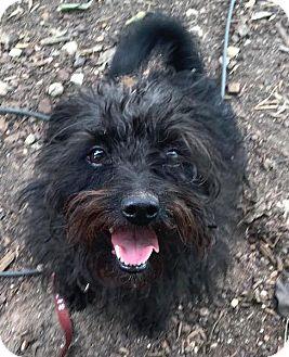 Yorkie, Yorkshire Terrier Mix Dog for adoption in Austin, Texas - Zoe