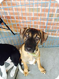 German Shepherd Dog/Labrador Retriever Mix Dog for adoption in waterbury, Connecticut - Anderson