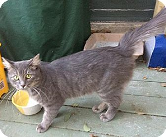 Domestic Mediumhair Cat for adoption in Metairie, Louisiana - Greyson