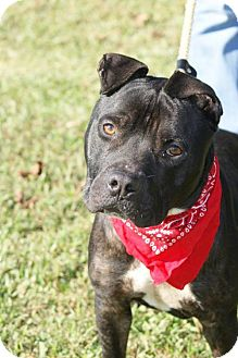 Staffordshire Bull Terrier/American Staffordshire Terrier Mix Dog for adoption in Kinston, North Carolina - Rock