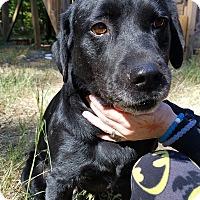 Labrador Retriever Mix Dog for adoption in Suwanee, Georgia - Spartacus