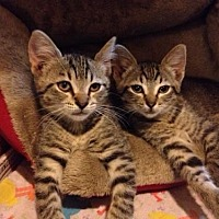 Adopt A Pet :: Nala and Simba - Walnut Creek, CA