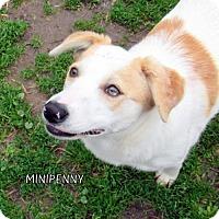 Adopt A Pet :: MiniPenny - Lindsay, CA