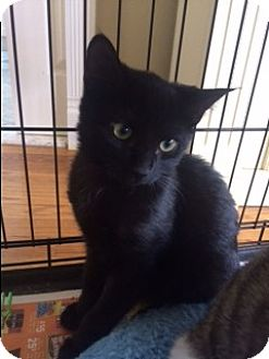Domestic Shorthair Cat for adoption in Long Beach, New York - Manny