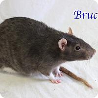 Adopt A Pet :: Bruce - Bradenton, FL