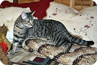 American Shorthair Cat for adoption in Clinton, Louisiana - Rambler