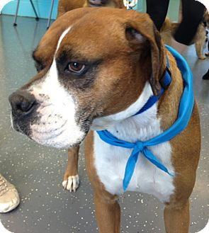 Boxer Mix Dog for adoption in Homewood, Alabama - Roscoe