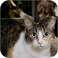Calico Cat for adoption in Round Rock, Texas - Callie