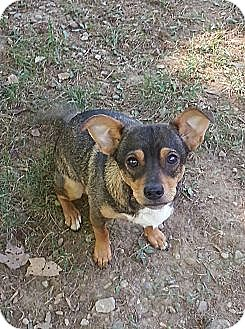 Chihuahua/Dachshund Mix Dog for adoption in Russellville, Kentucky - Nacho