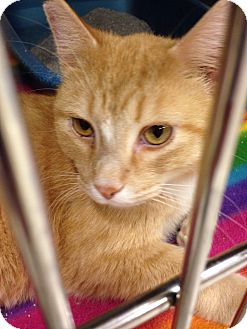 Domestic Shorthair Cat for adoption in Muncie, Indiana - Max