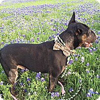 Bull Terrier Dog for adoption in Glenwood, Arkansas - Benjamin