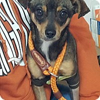 Adopt A Pet :: Stitch - san antonio, TX