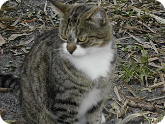 Domestic Shorthair Cat for adoption in Naples, Florida - Button