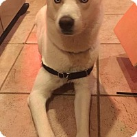 Adopt A Pet :: BOLTON BLU - COURTESY POST - Powder Springs, GA