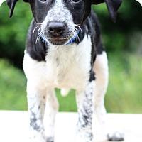 Adopt A Pet :: Amigo - Waldorf, MD