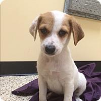 Adopt A Pet :: Ranger - Thousand Oaks, CA