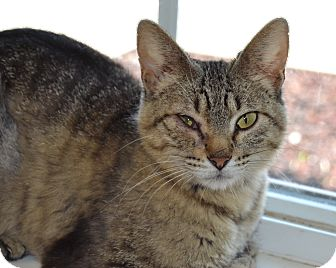 Domestic Shorthair Cat for adoption in Larned, Kansas - Sweet Pea