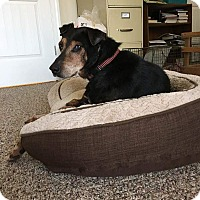 Doberman Pinscher Mix Dog for adoption in Youngsville, North Carolina - Trooper