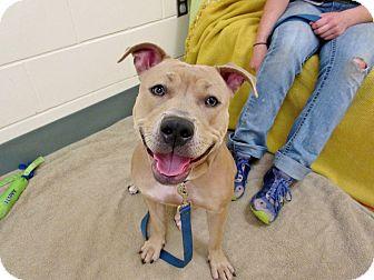 Pit Bull Terrier Dog for adoption in Boston, Massachusetts - KAYA