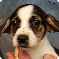 Basset Hound/Beagle Mix Puppy for adoption in Colonial Heights, Virginia - Elmo