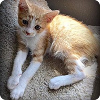Domestic Shorthair Kitten for adoption in Weatherford, Texas - Mikey