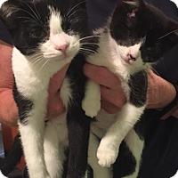 Domestic Shorthair Kitten for adoption in Lancaster, Pennsylvania - Jill