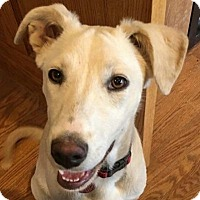 Labrador Retriever/Border Collie Mix Puppy for adoption in Erie, Colorado - Spruce